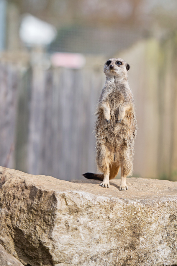 Engagement shoot, meerkat, marwell zoo, hannah mcclune photography