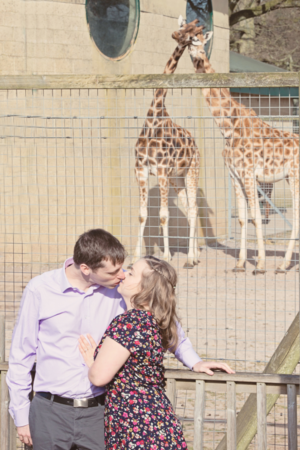 Engagement shoot, marwell zoo, giraffes in love , hannah mcclune photography